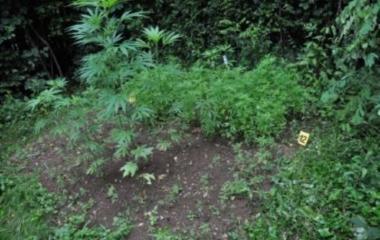 Pronađen zasad indijske konoplje u Tešnju